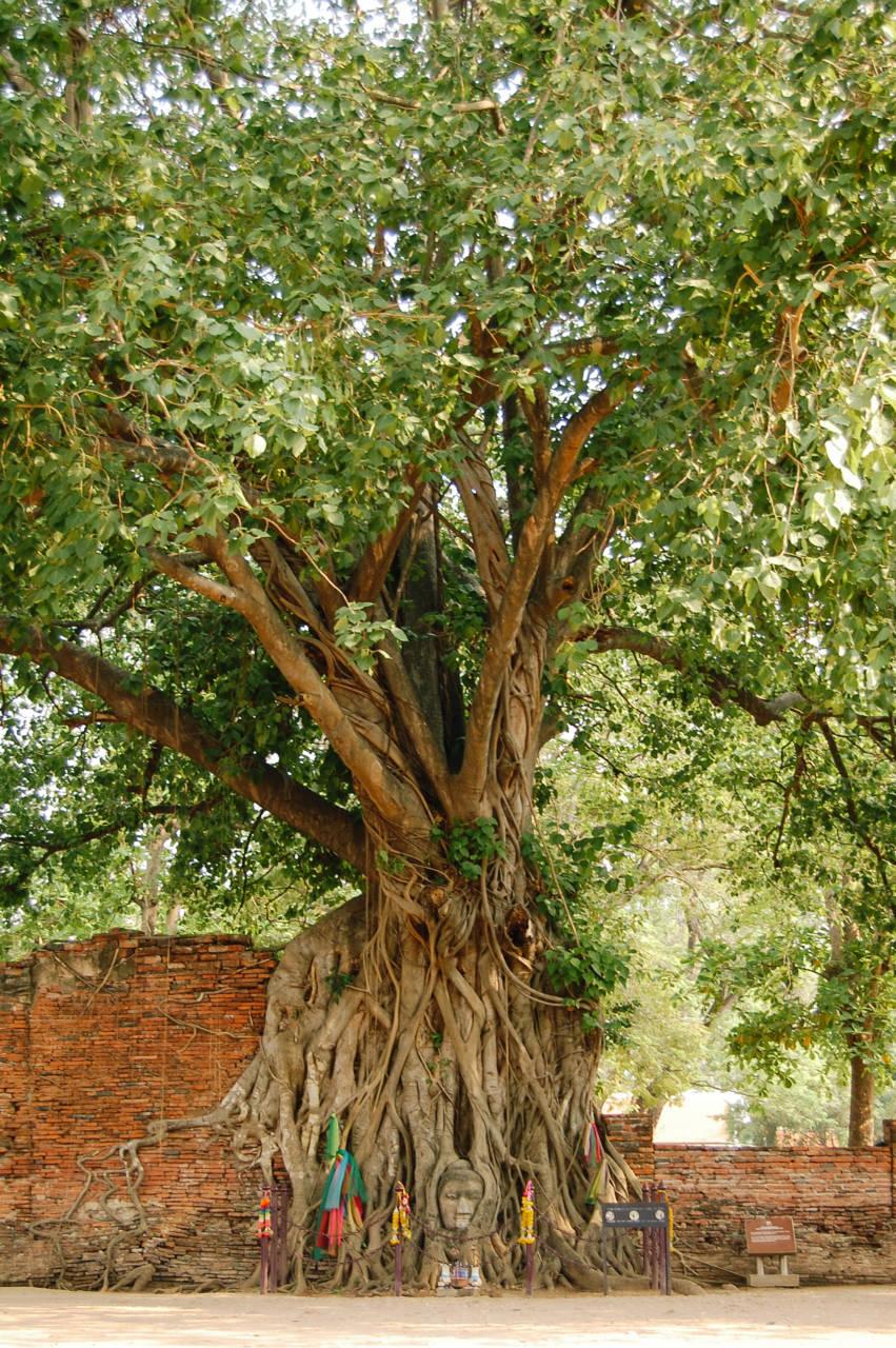 ワット・マハタートの菩提樹