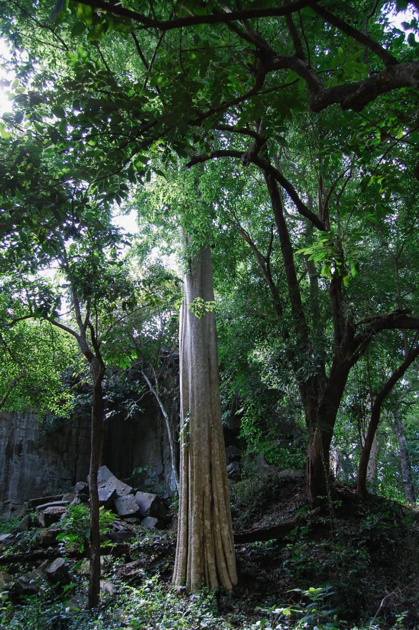 ベンメリアの幻想的な木