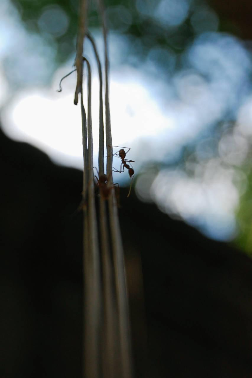 ベンメリア 蟻