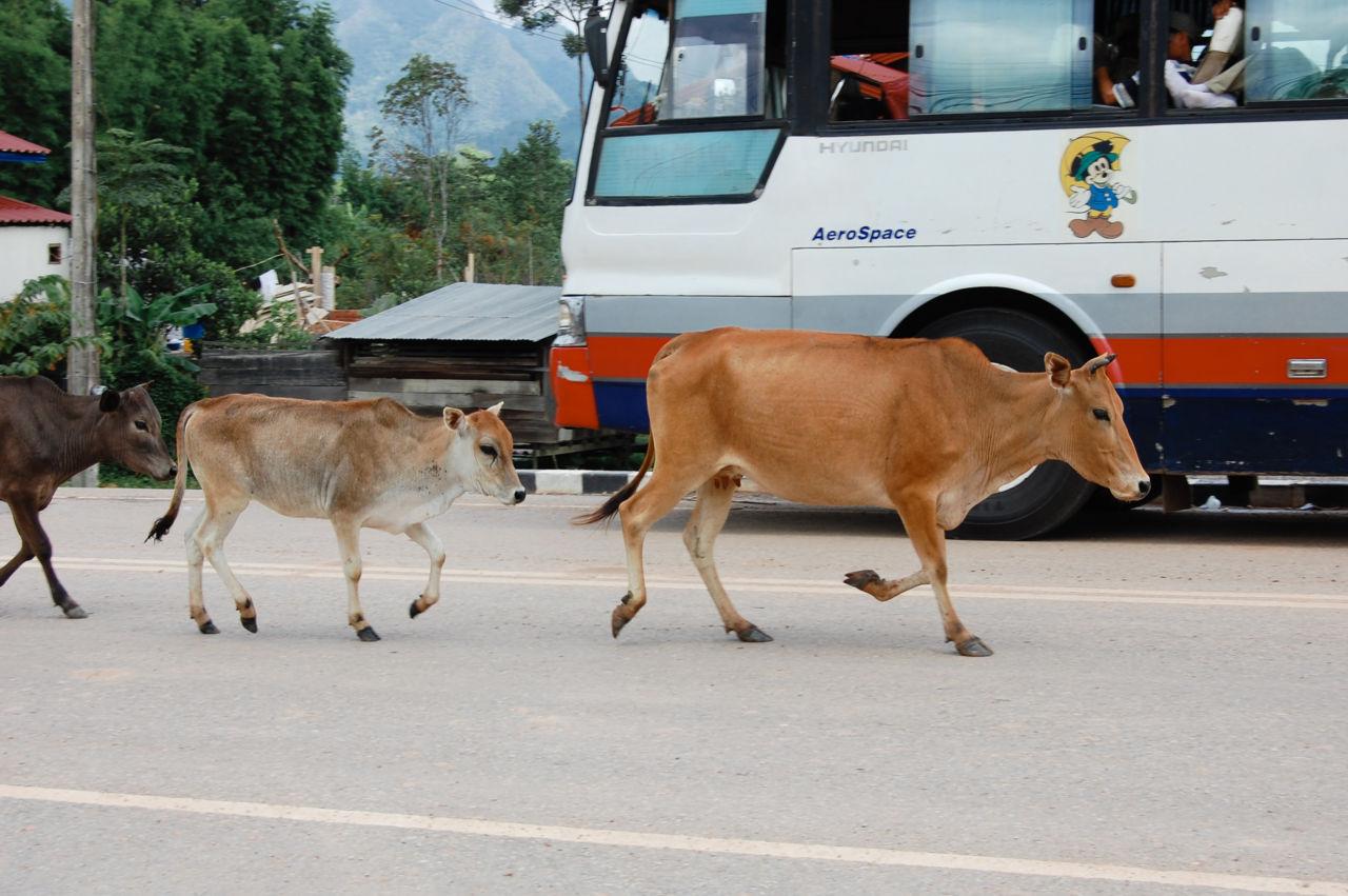 ラオス 道路を歩く牛
