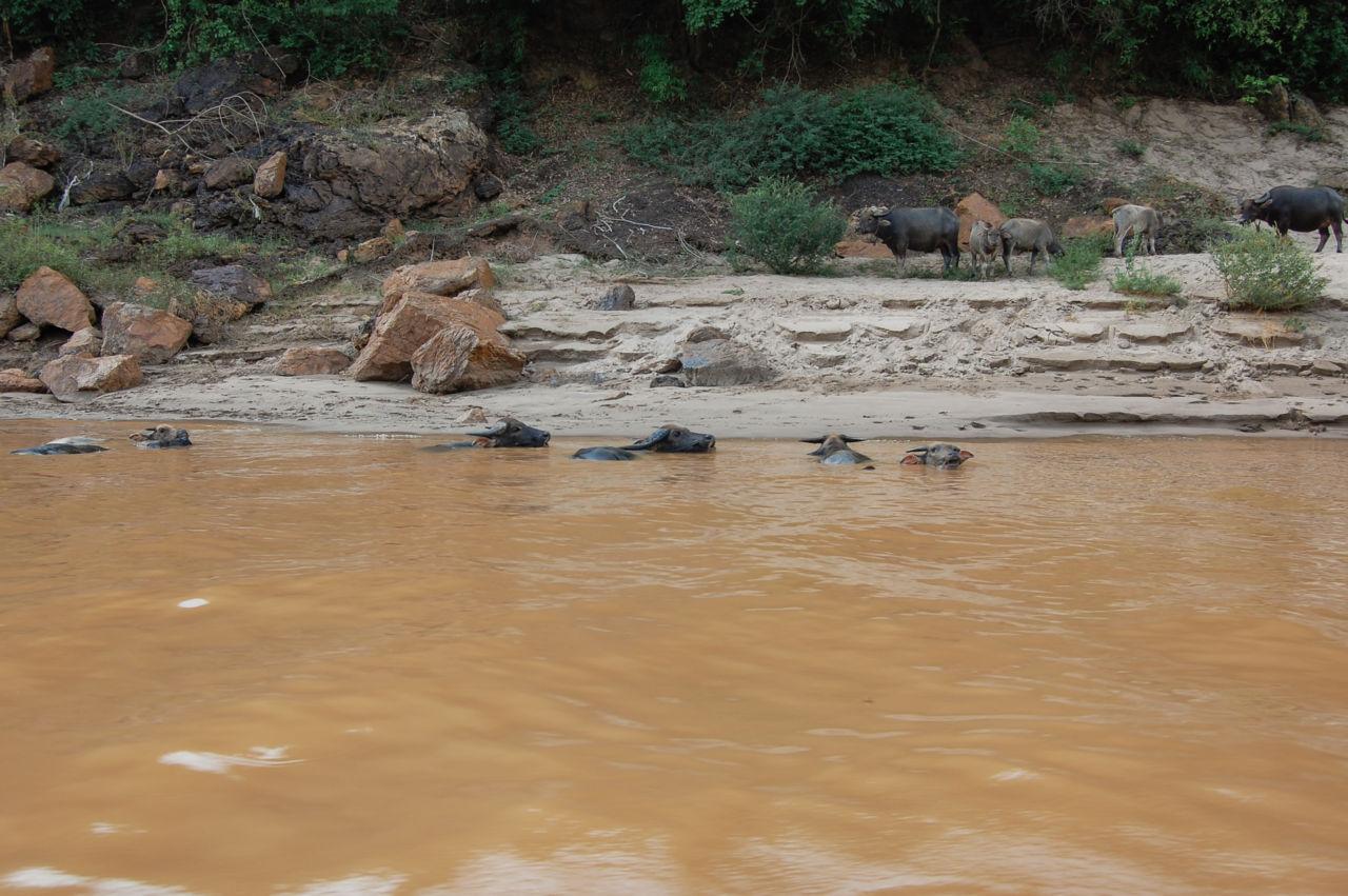 メコン川の水牛