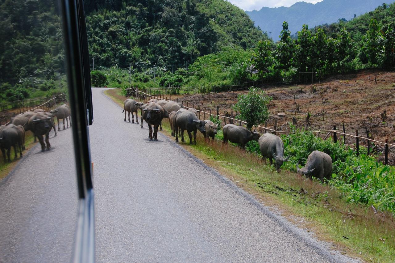 ラオスのバスの車窓から 水牛の群れ