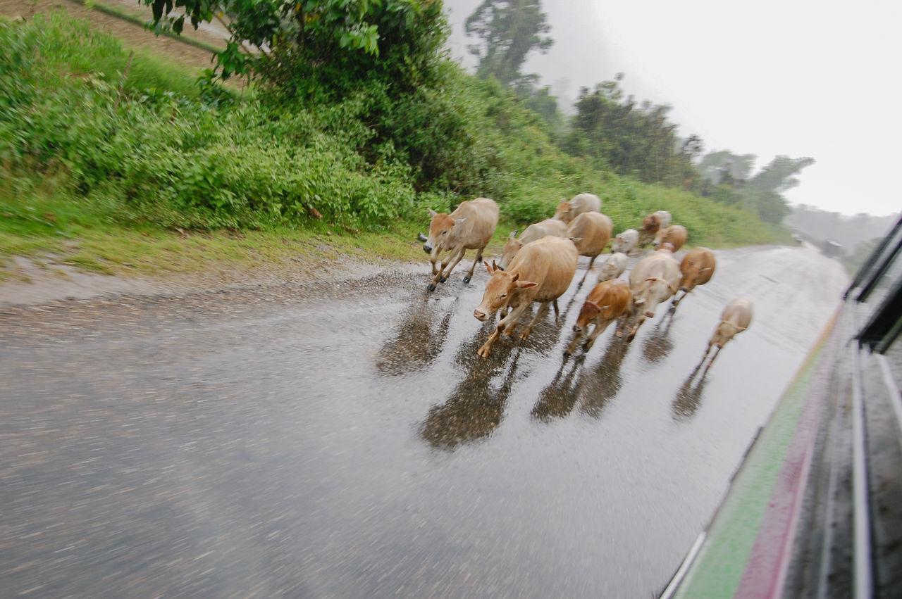 ラオスのバスの車窓から 牛の群れ