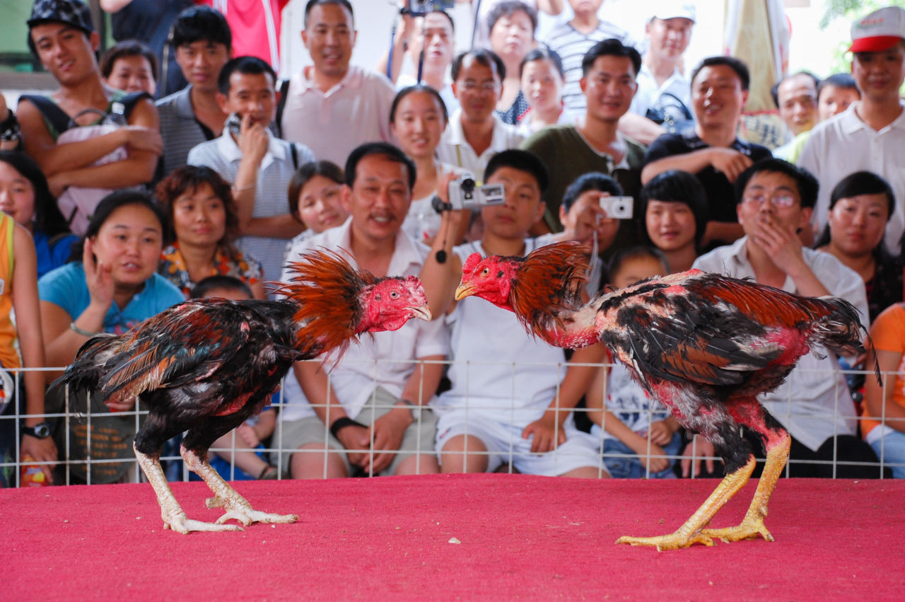 劉三姐大観園の闘鶏