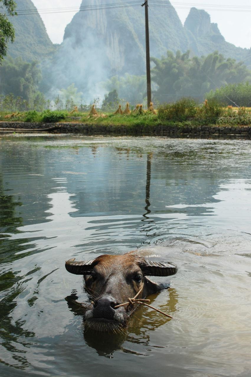 高田郷の水牛