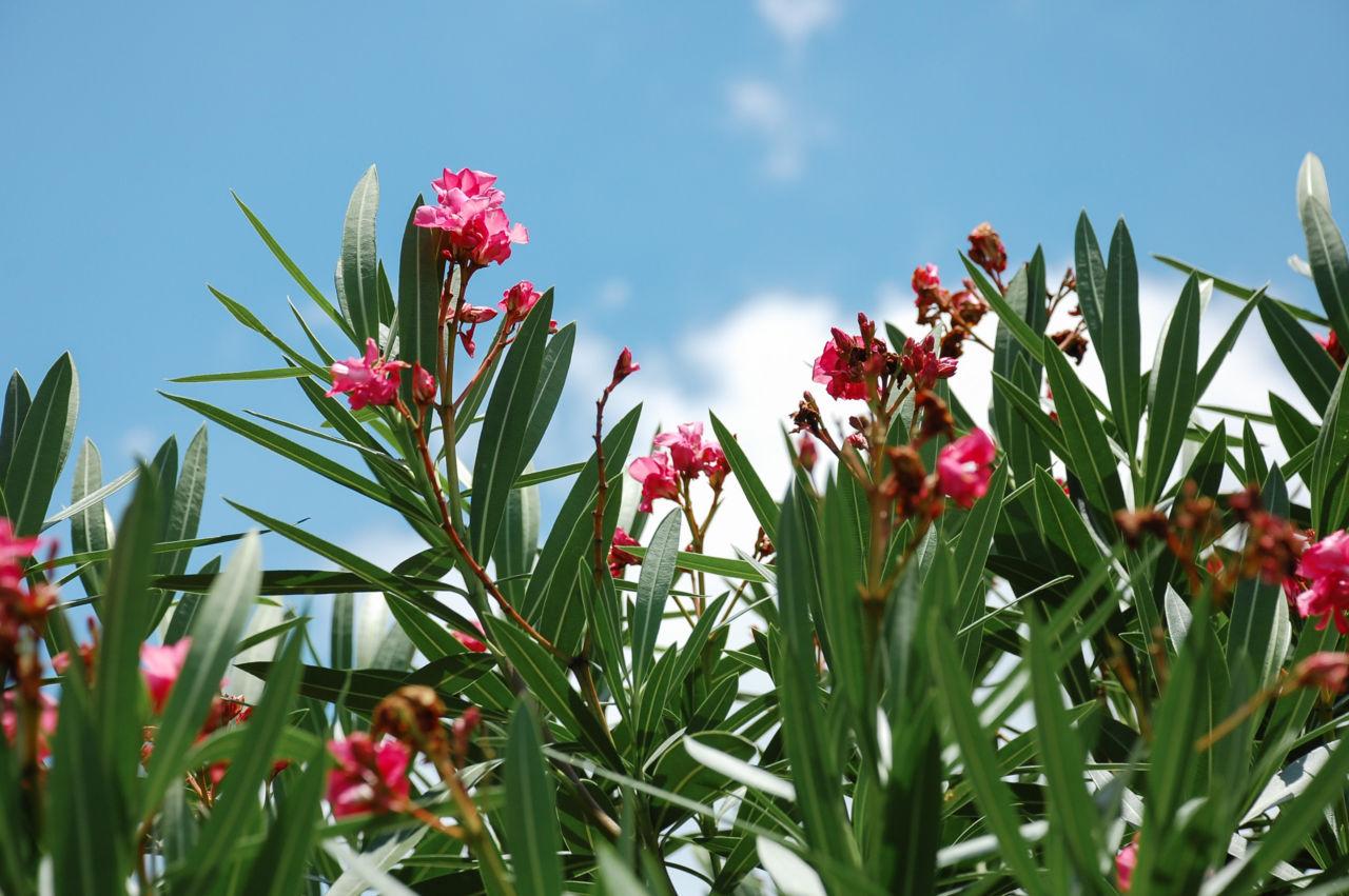 桂林 垣根 花 ピンク