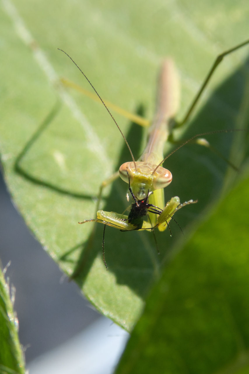 アブラムシを捕食する大カマキリの幼虫