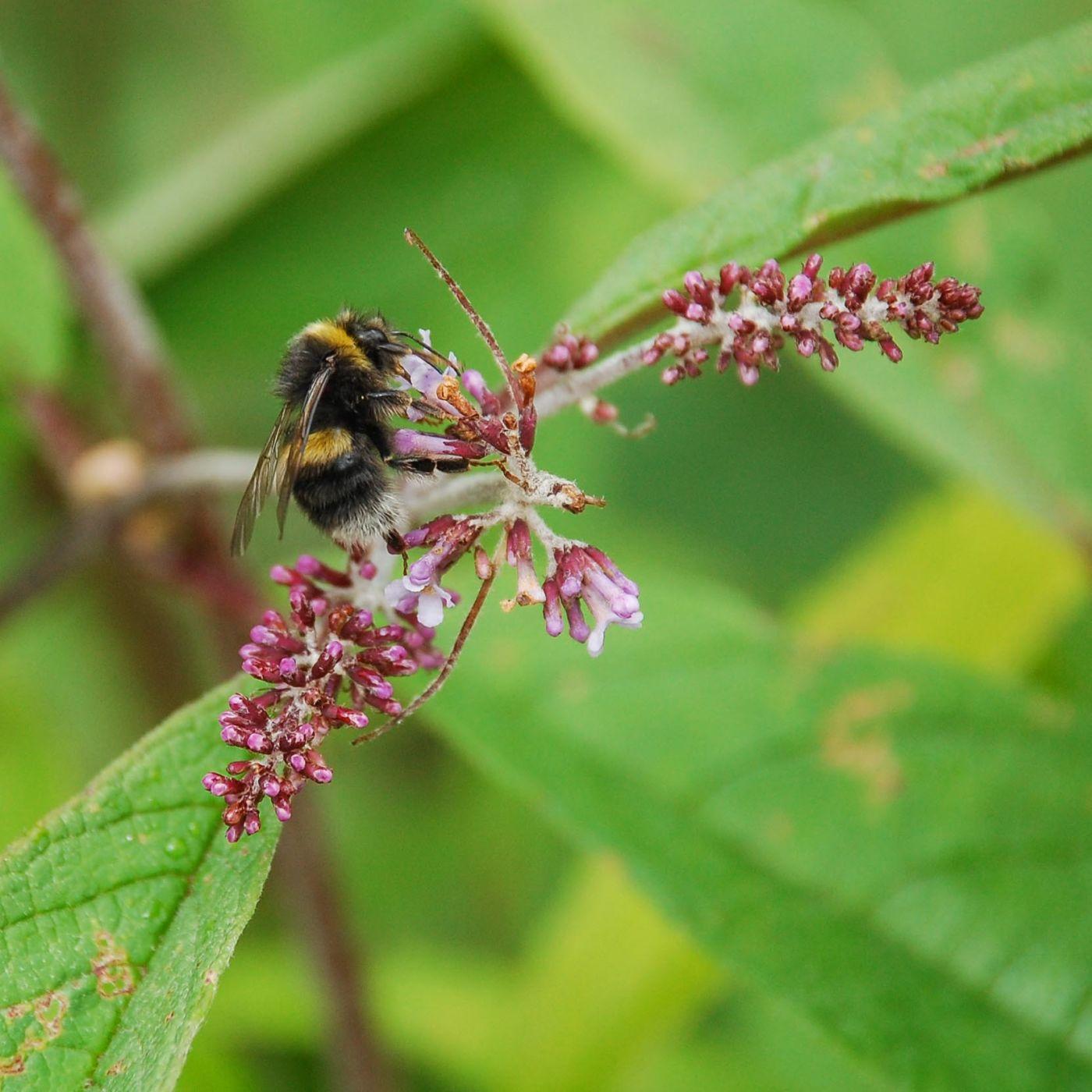 九寨溝の蜂