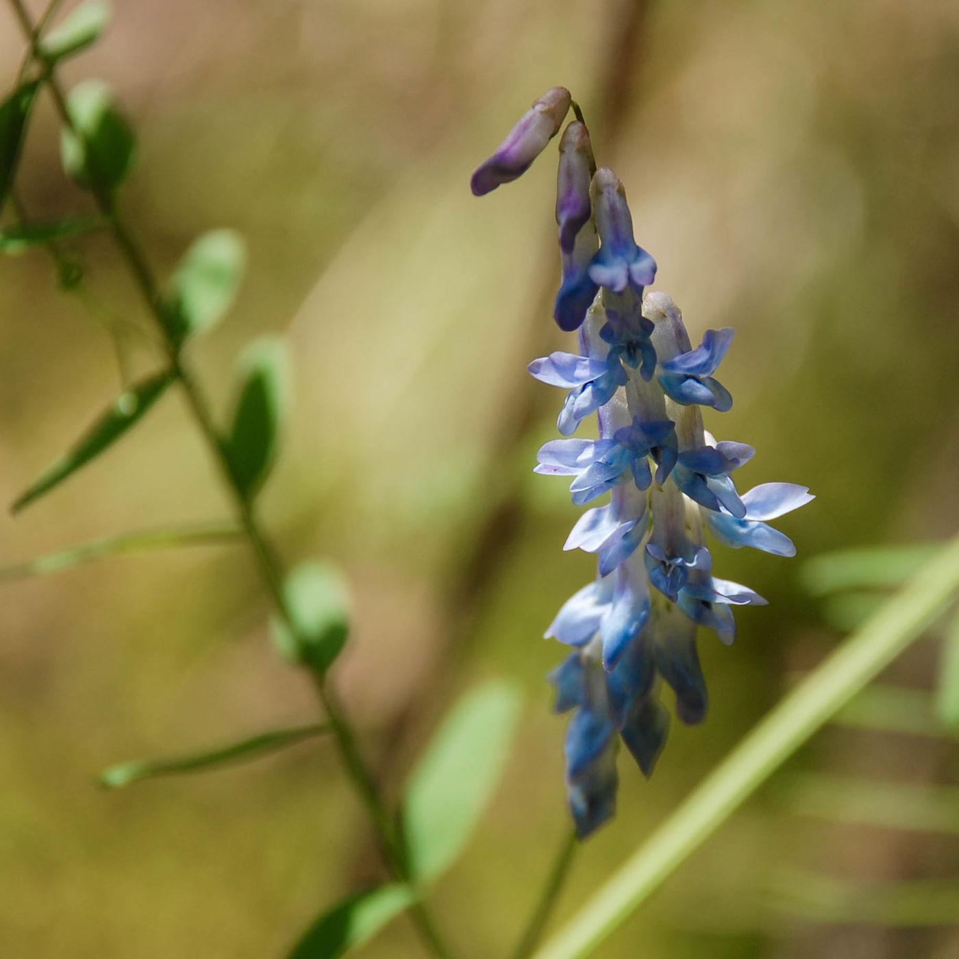 九寨溝 青い花
