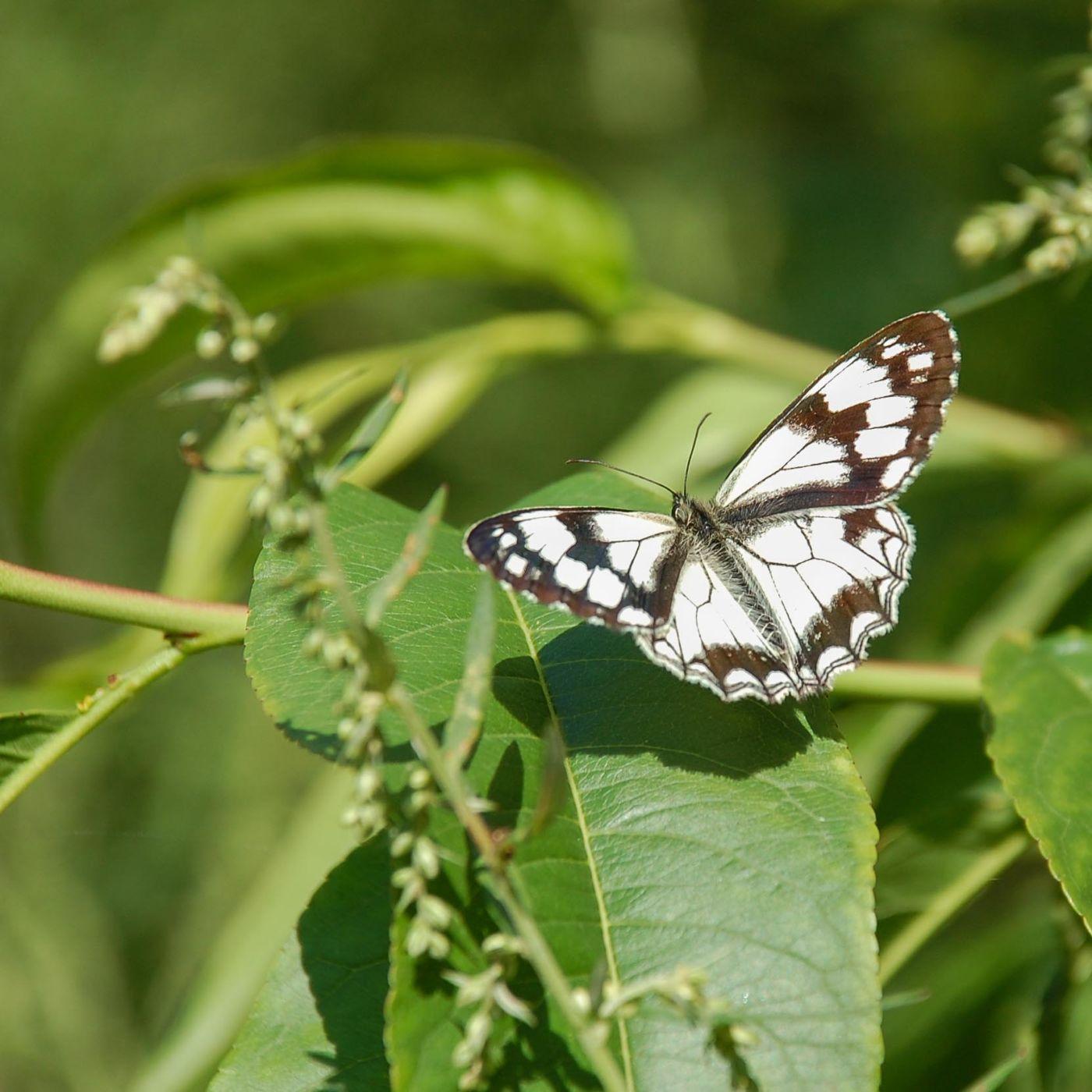九寨溝 白い蝶