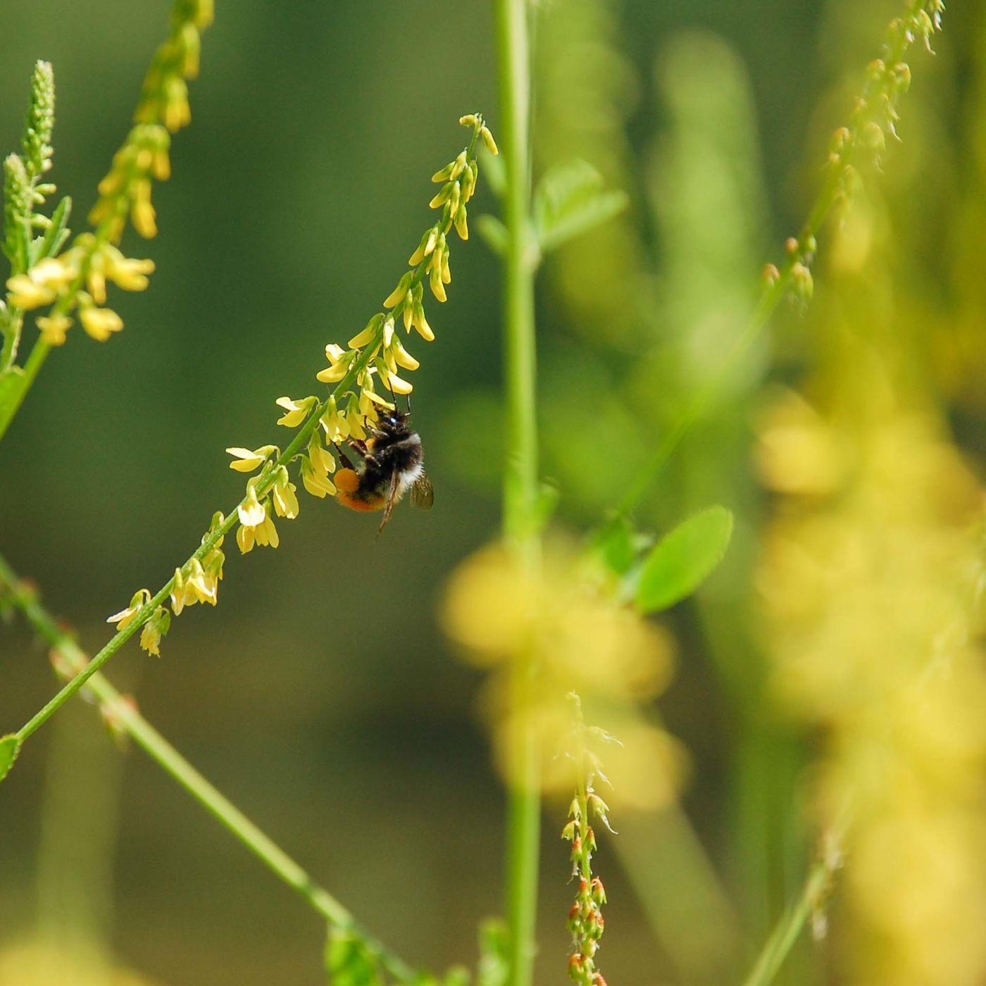 九寨溝 蜜蜂