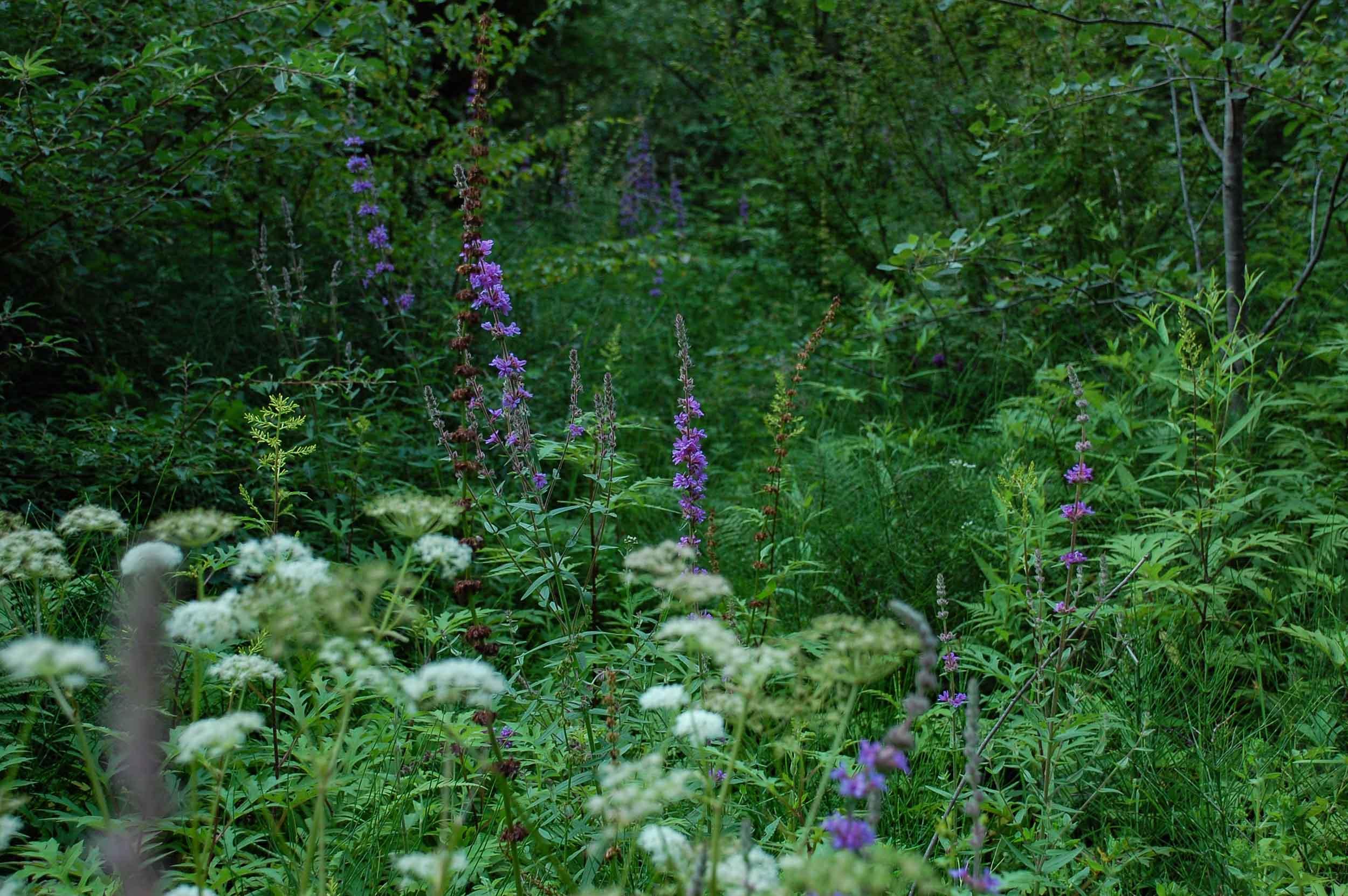九寨溝 湿地の花