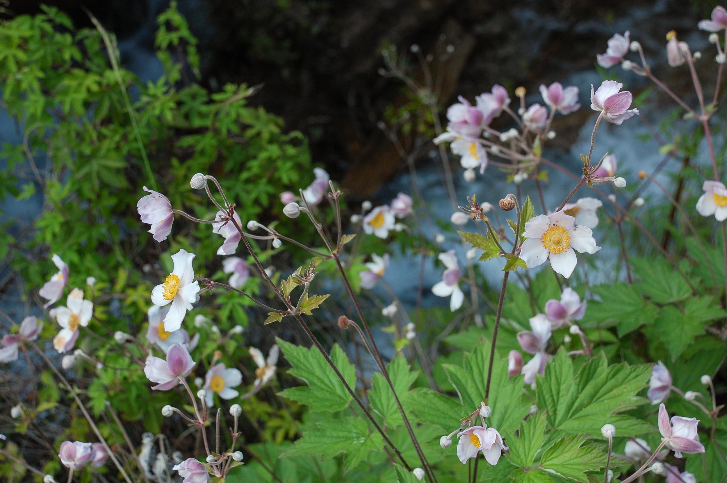 九寨溝 ピンクの花