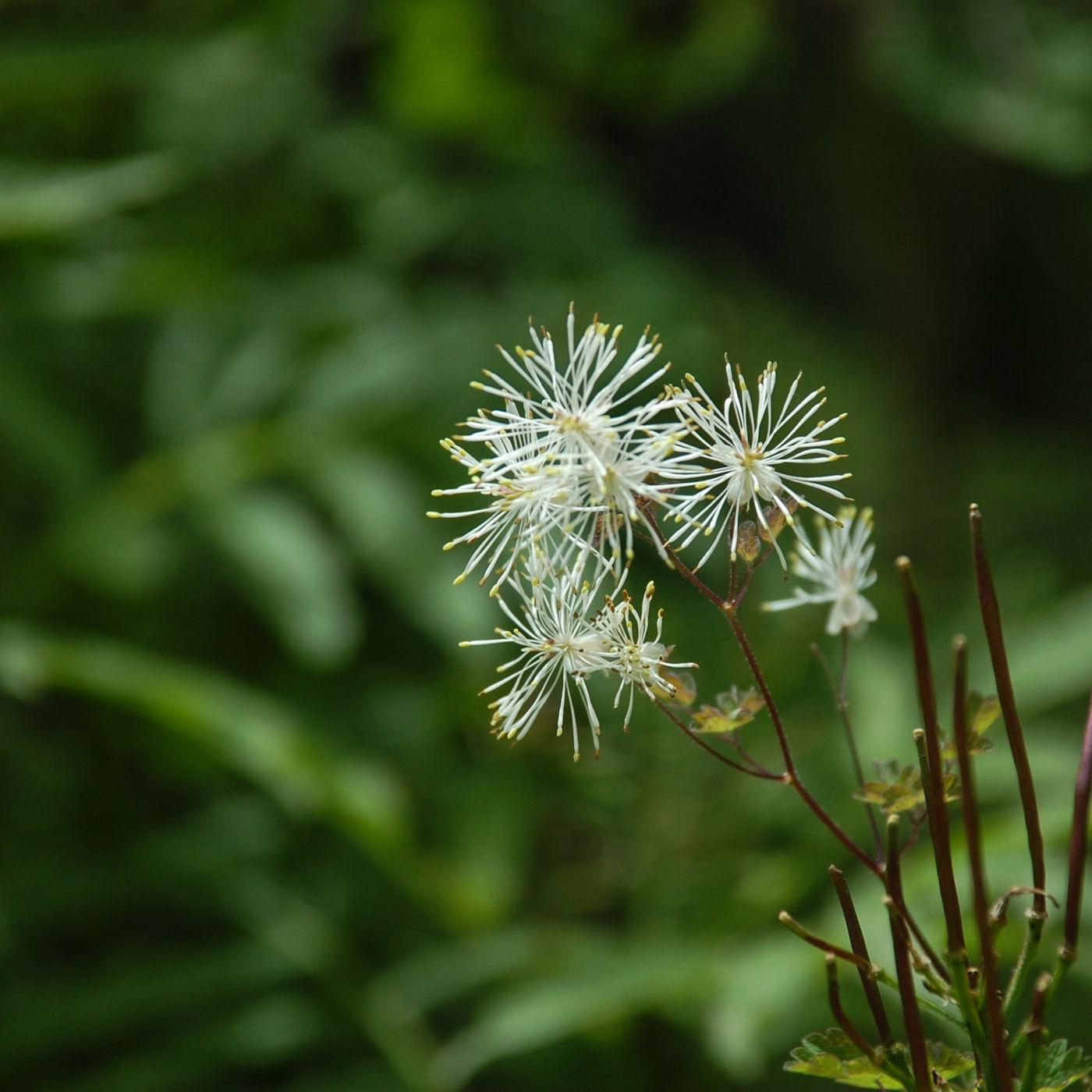 黄龍 高山植物 白 放射状 花