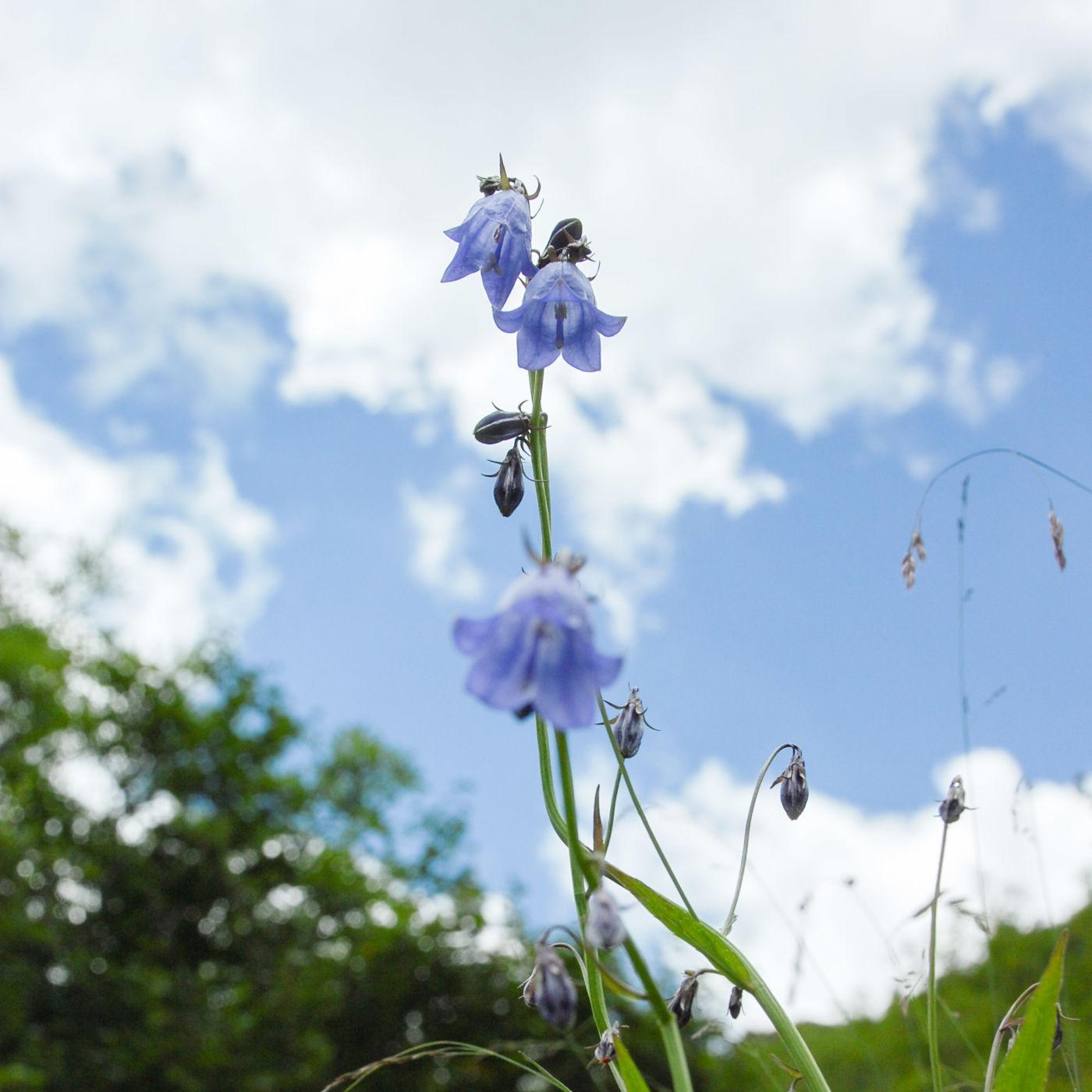 黄龍 高山植物 青 花