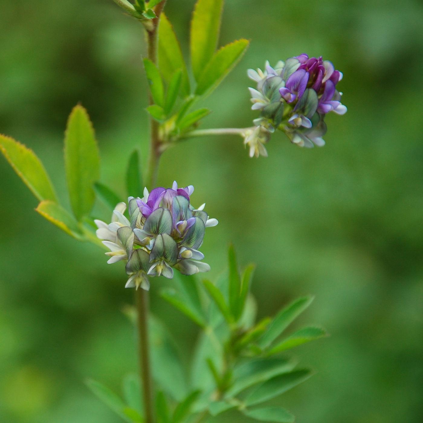 黄龍 高山植物 紫 花